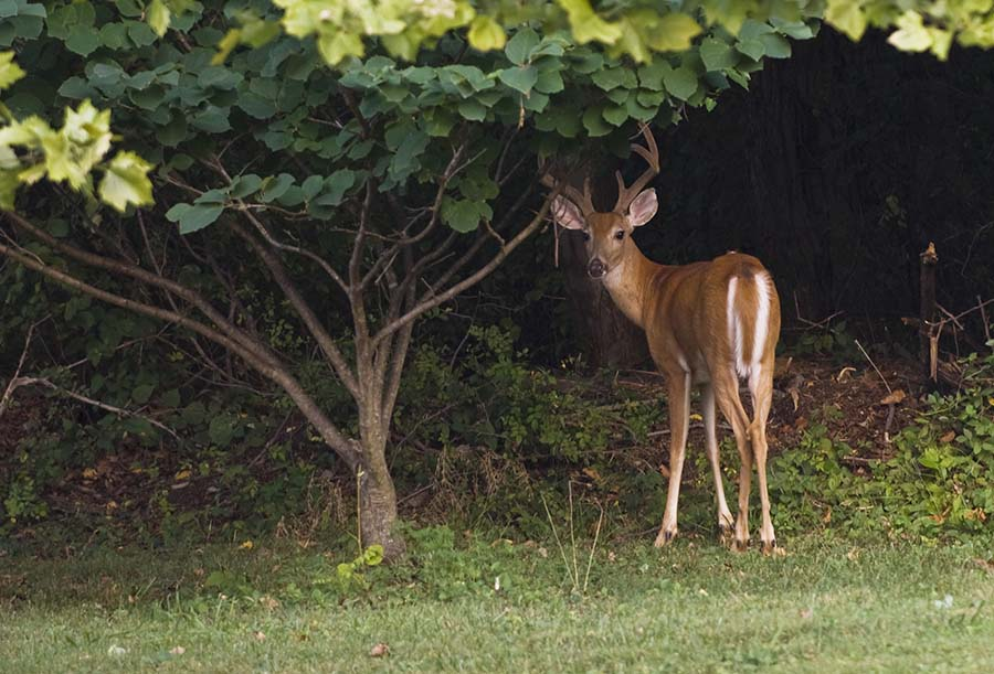 Keeping deer and other pests out of your garden carolina country - How to keep intruders out of your garden ...