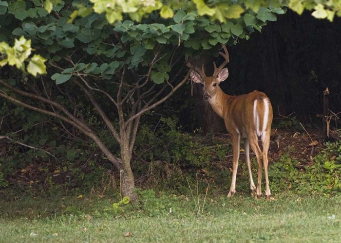 Deer Me! What's Eating Your Landscape?