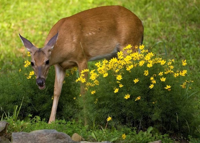 How to Keep Deer and Rabbits Out of Your Gardens