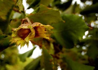 Growing Hazelnuts
