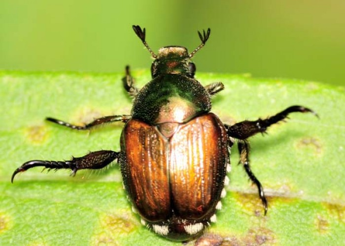 Invasion of the Japanese beetles