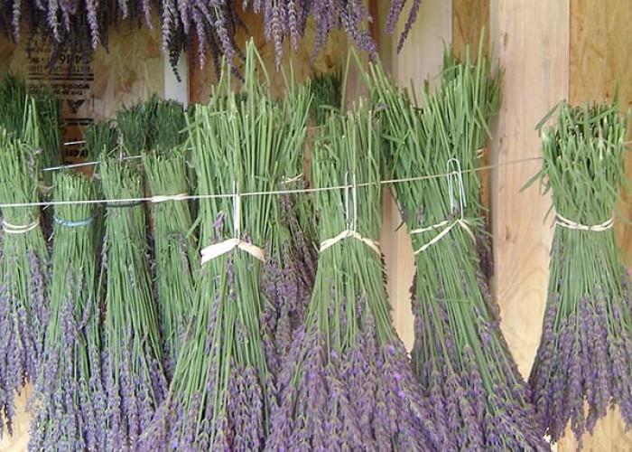North Carolina's Lavender Landscapes