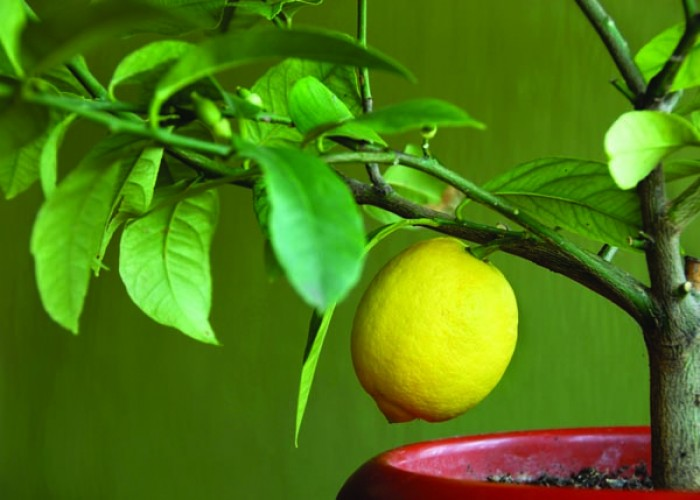Indoor citrus plants thrive on moisture and light
