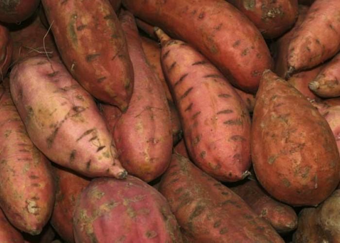 Sweet potatoes love North Carolina's sandy soil